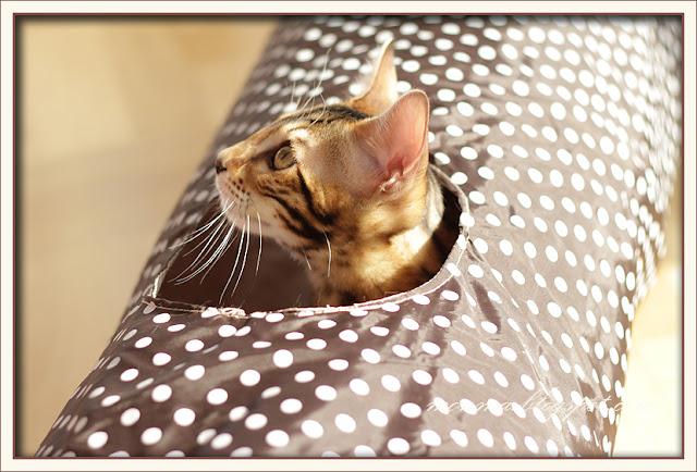 Bengalkatt Allis