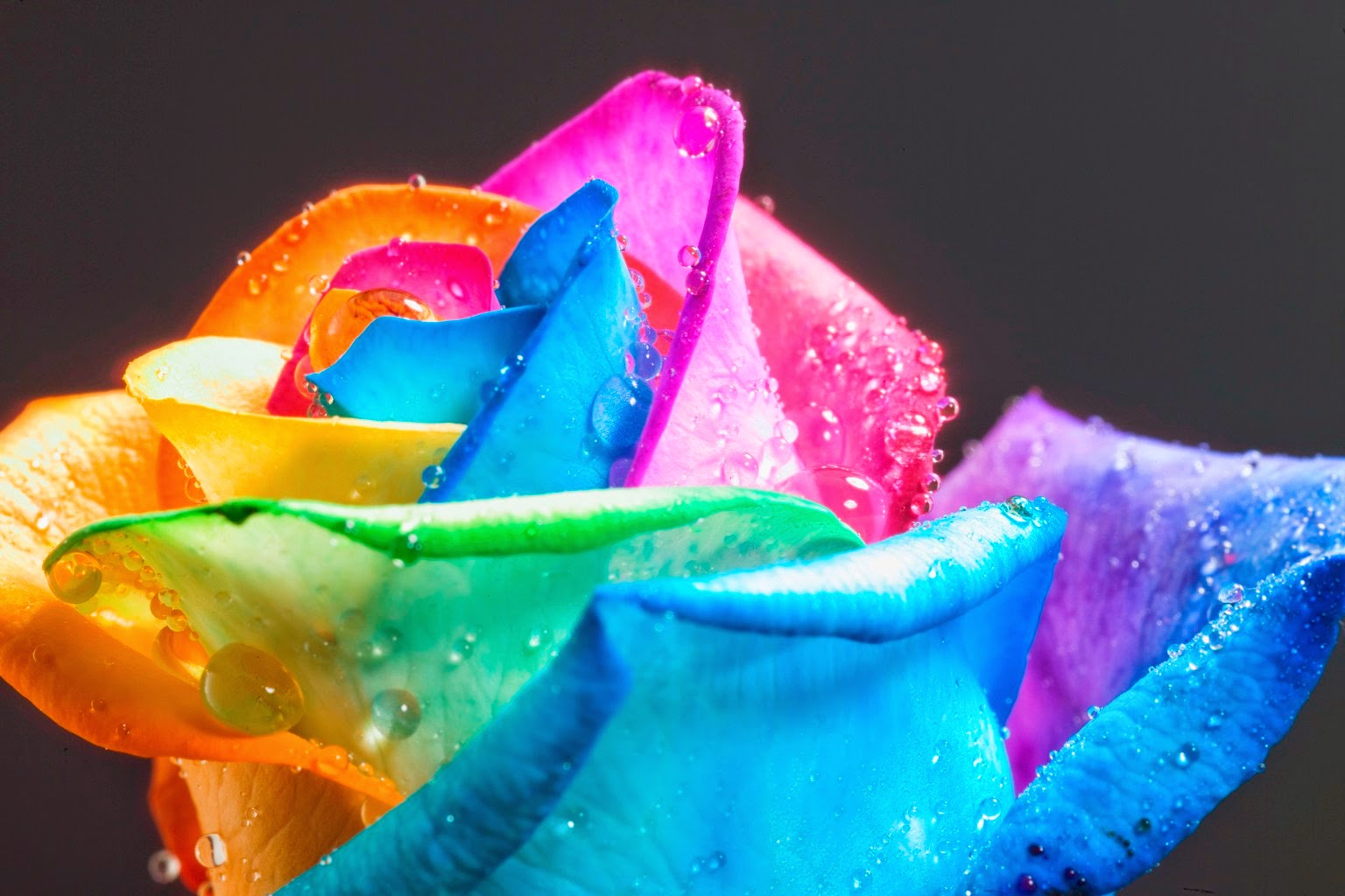 Elegant color of raibow rose can you give as gift for Can you dye roses