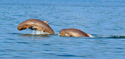 Mekong River Irrawaddy dolphins