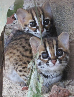 anak Kucing Hutan / macan Akar