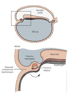 эмбриогенез диафрагмы. Движение перикарда, сердца, части диафрагмы