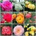Parnell Rose Garden - Jardim de Rosas - Parte I x Green Day 24 - Dia Verde