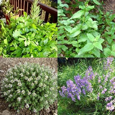Cuina cinc sensacions al plat esp cies i plantes arom tiques for Plantes aromatiques