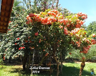 Arbusto Florido Mussaenda Alicia