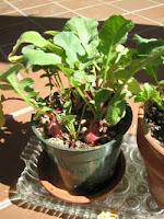 Radish in Container Gardening