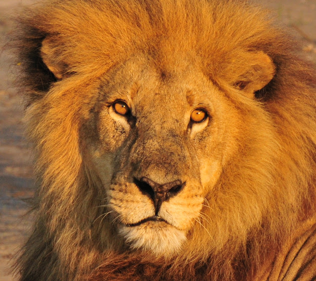 male lion, Botswana, Africa, Duba Plains