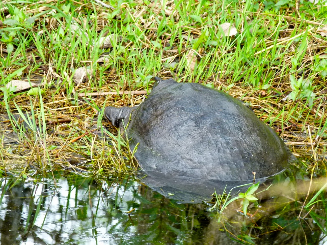 Snout nosed turtle in Shark Valley, Everglades National Park
