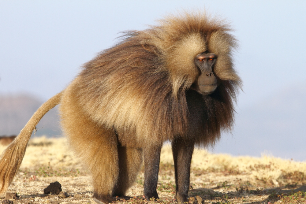 gelada all interesting facts amp photographs the wildlife
