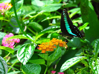 (鳳蝶科)展翅50 - 60 mm,翅膀表面黑色,展翅時有一條水藍色的橫帶斑紋橫跨全翅,後翅近外緣有眉狀斑紋排列,尾突不明顯,翅腹面也有青帶斑紋但後翅近肛角區域具紅斑。本屬4種,本種又稱青鳳蝶,普遍分布於平地至低海拔山區,喜歡訪花或群聚於潮濕的地面吸水,飛行迅速。幼蟲寄主樟、肉桂等植物,初齡黑色漸漸轉為褐色、綠色,終齡後胸體背有一條黃色橫紋,頭胸左右側各有3枚藍色光澤突棘,腹端有一對叉狀突起,蛹為帶蛹,綠色,體背有4條黃色縱紋,成蟲全年可見,常見路邊的野花吸食花蜜,習性靈敏,飛行快速。