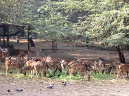 A picture of deers in the Deer Park of Hauz Khas, Delhi
