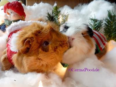 Christmas piggies kissing
