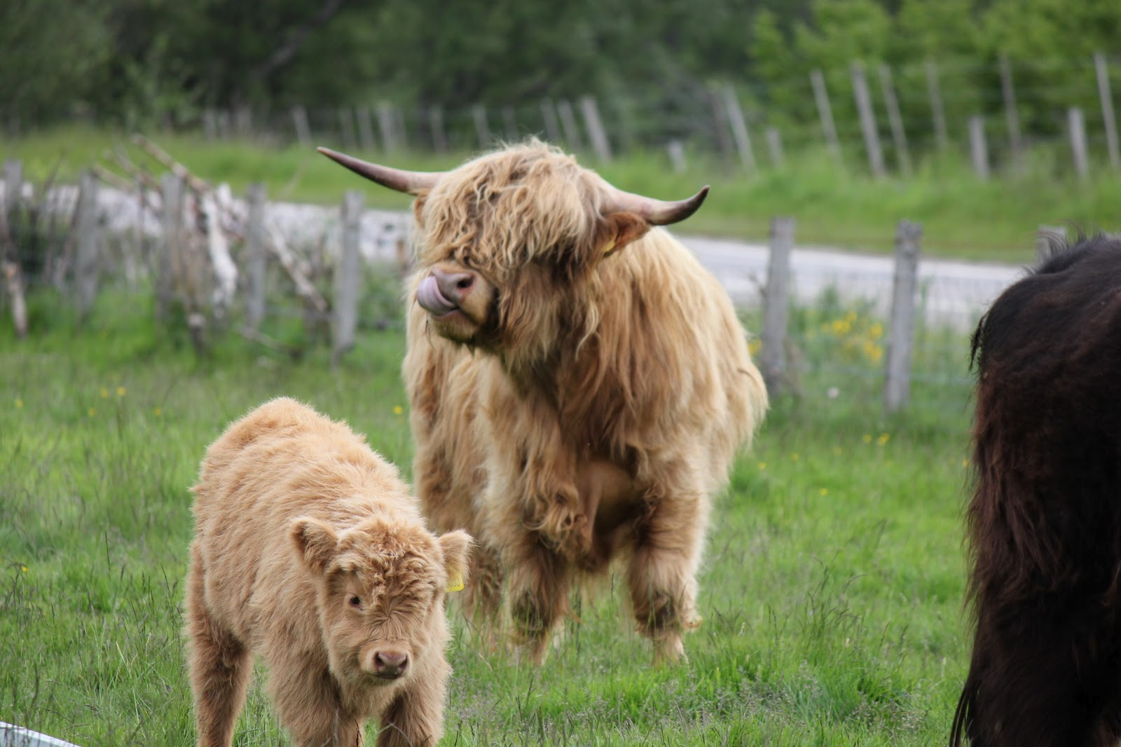 chronicling the 1000 days before i hit 30 day 936 highland cow