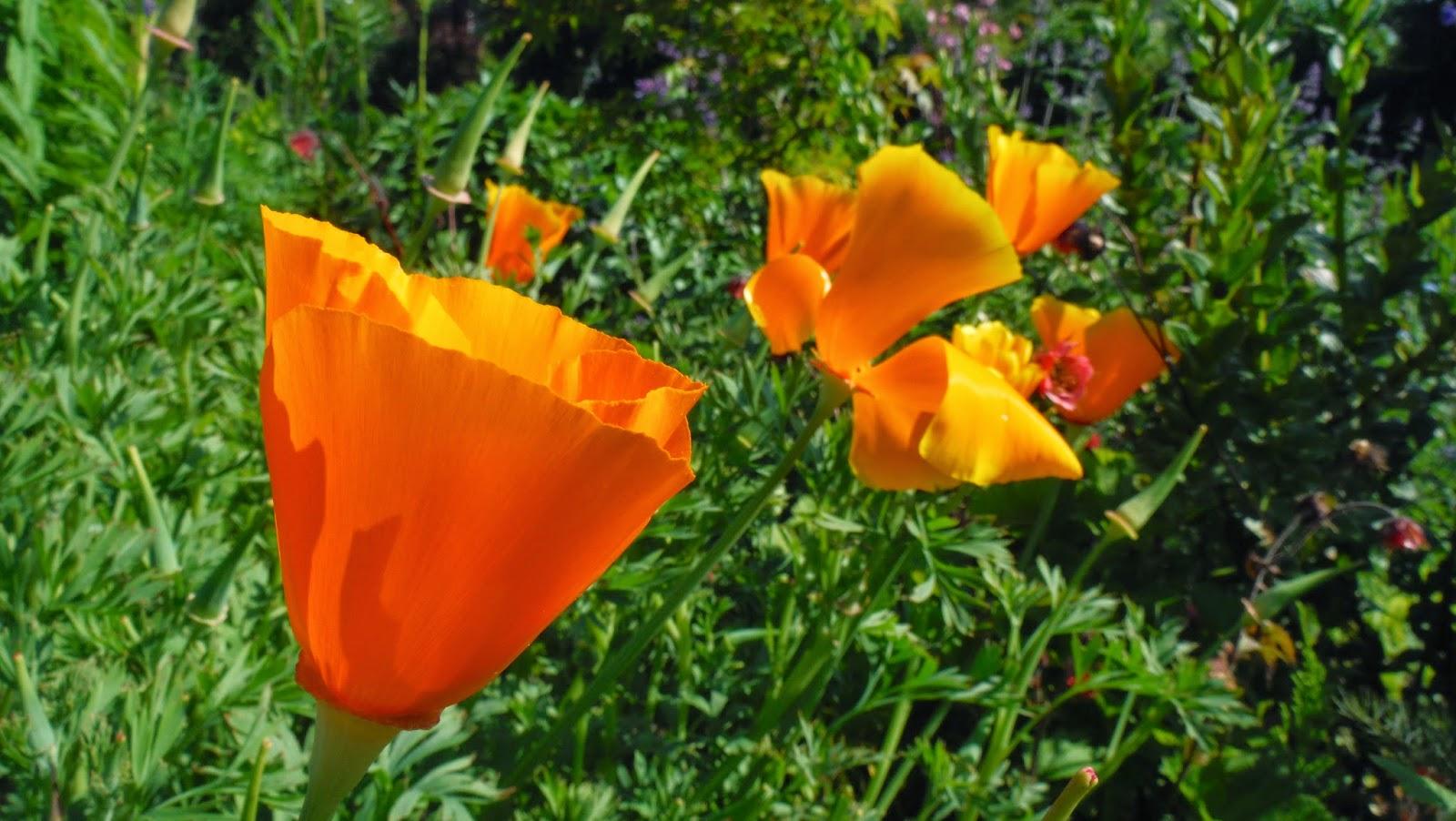 Californian+Poppy