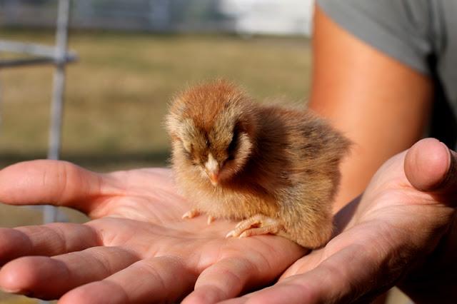 Americana Chick