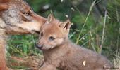 . : Ajude a salvar o Lobo Ibérico, uma espécie em vias de extinção : .
