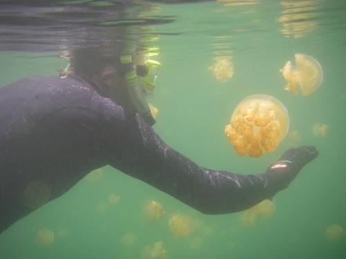 نتيجة بحث الصور عن قناديل البحر