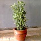 Bambu sri rejeki belang