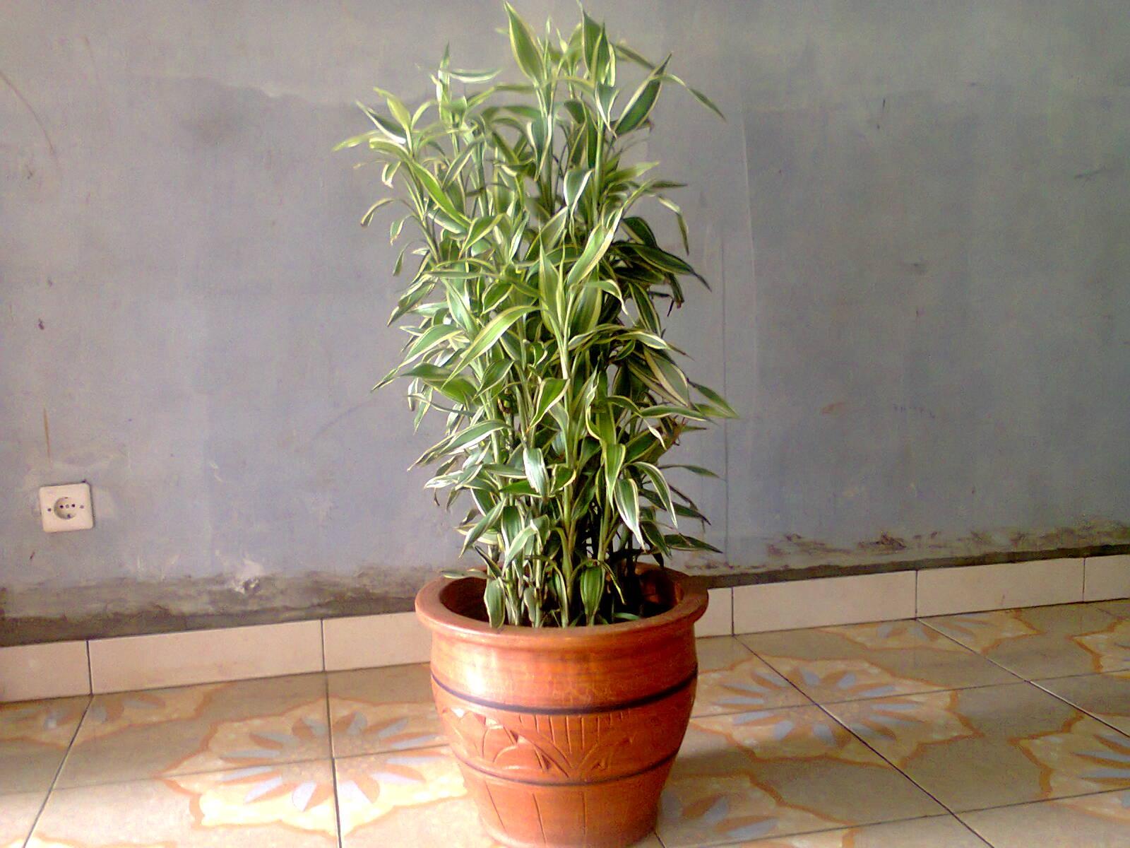 tanaman bambu sri rejeki belang
