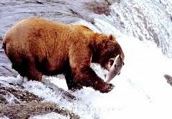 beruang dengan ikan salem.
