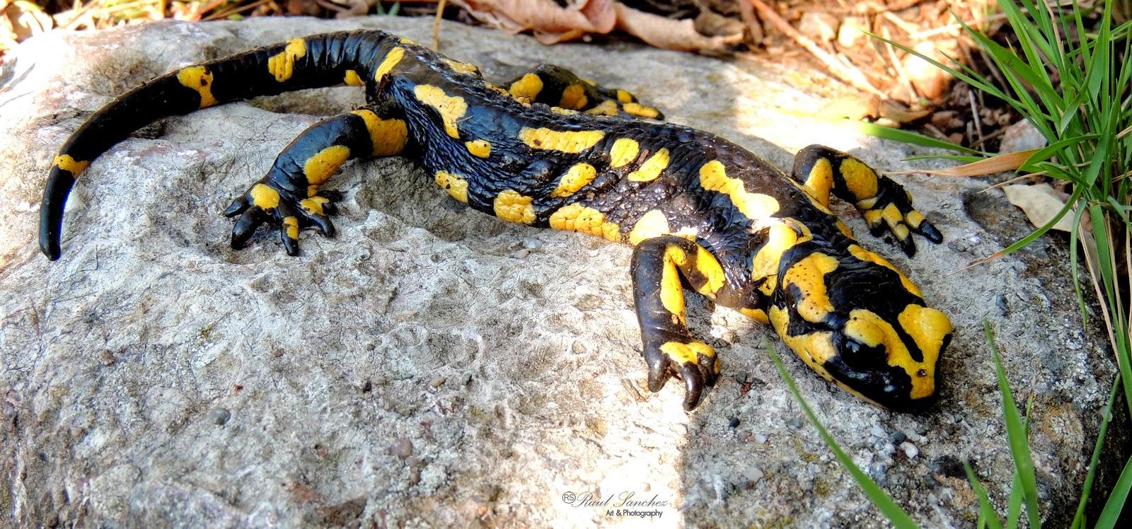 Naturaleza Viva : Salamandra común