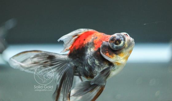 Kirin Goldfish