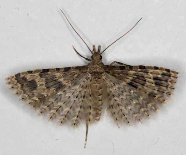 Twenty-plume Moth, Alucita hexadactyla.  Micromoth.  2 October 2011.
