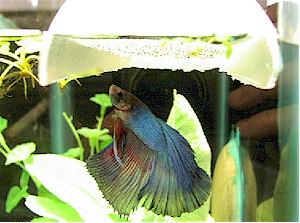 Cara Pembiakan Ikan Laga - Part 2 | Silampuneon