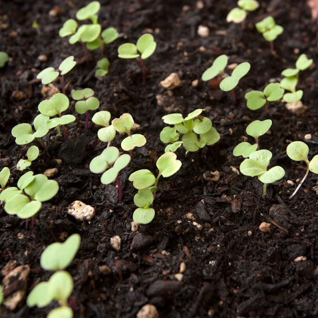 9-day-old mesclun seedlings
