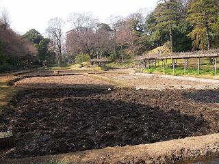 小石川後楽園の田んぼ