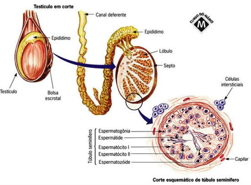 Plantão Médico: Histología del Aparato Reprodutor Masculino - Parte 1