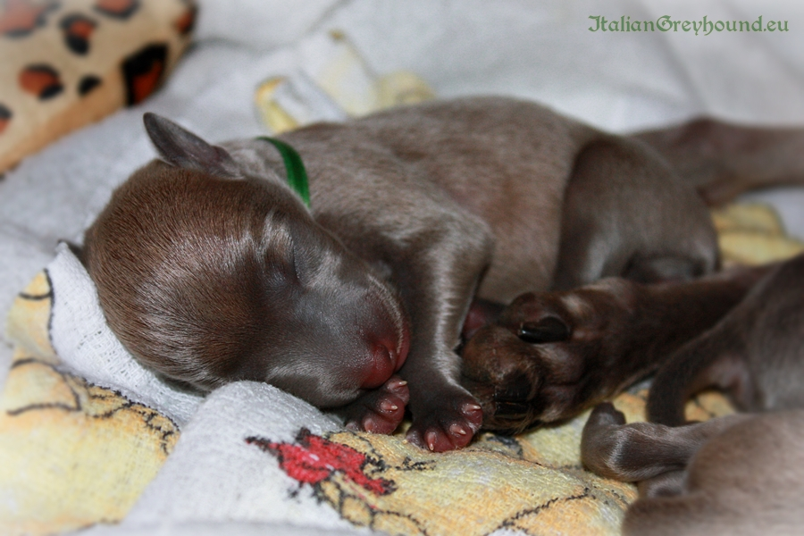 Italian Greyhound Puppies kennel Stupor Mundi FCI