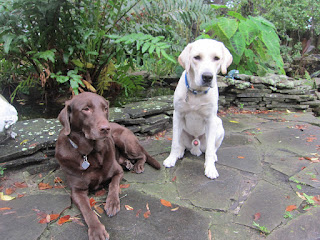 A guide dog puppy in training and his chocolate lab friend sitting in front of a koi pond