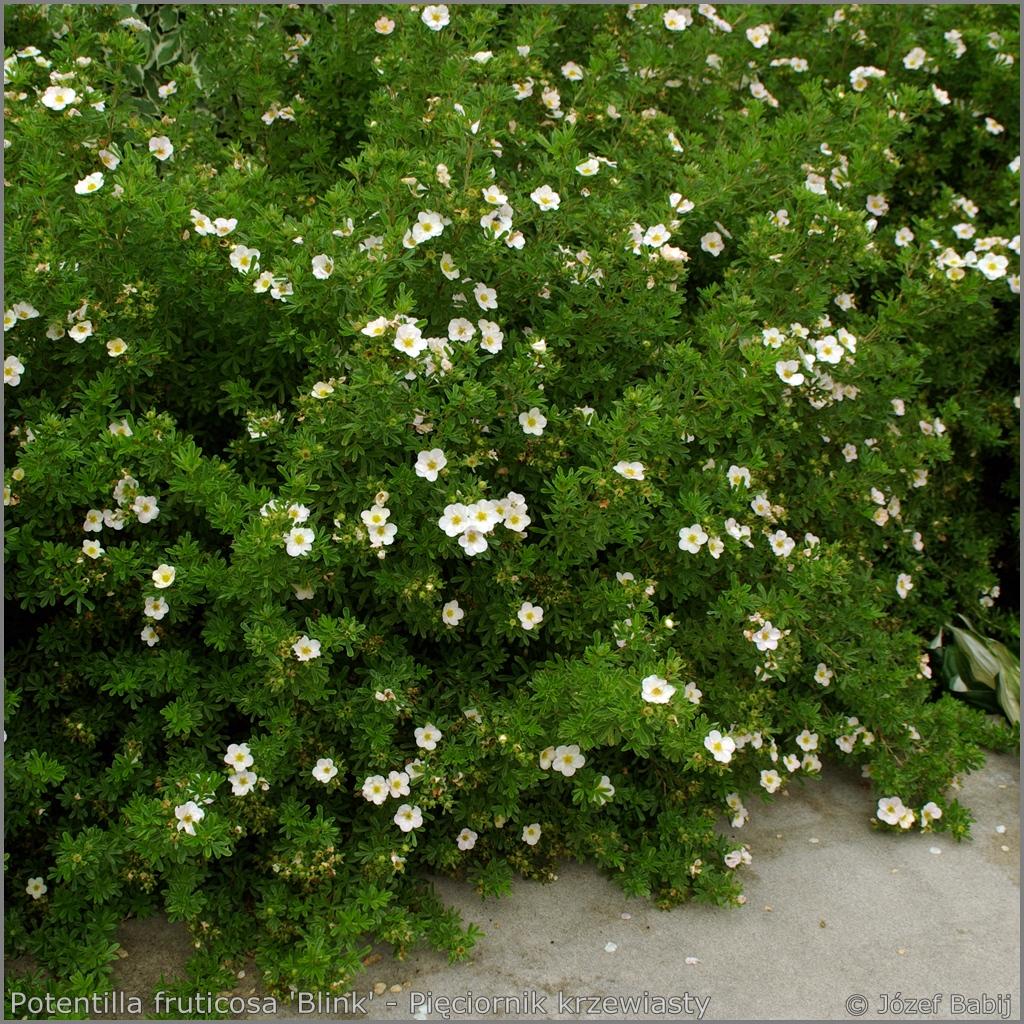 Potentilla fruticosa 'Blink' syn.Potentilla fruticosa 'Princess' - Pięciornik krzewiasty  'Blink'