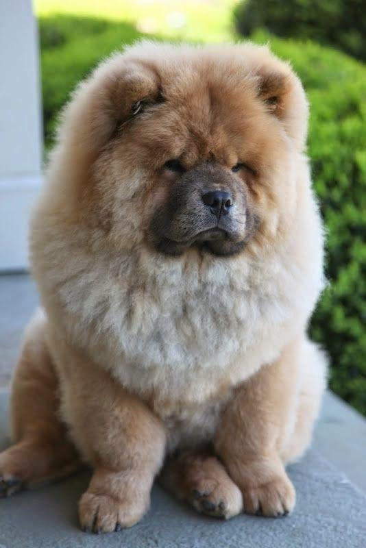 See more Chow chow puppy http://cutepuppyanddog.blogspot.com/