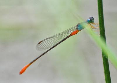 Ceriagrion cerinorubellum