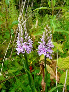 Common Spotted Orchid, Childwall Woods and Fields