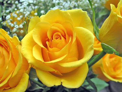 Flowers Yellow Roses