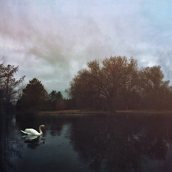 Swan at Edgewater Pond © Wayne Greer
