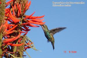 Besorinho-de-bico-vermelho - Chlorostibon lucidus