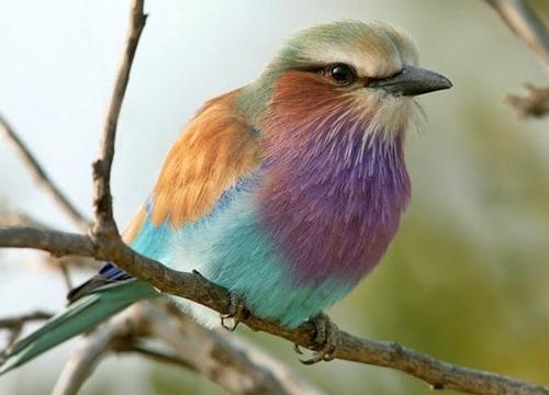 Lilac-breasted Roller - Rolieiro-de-peito-lilás - Coracias Caudata
