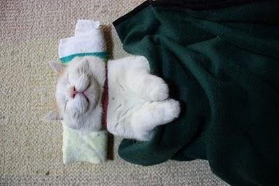 shironeko kucing lucu malas
