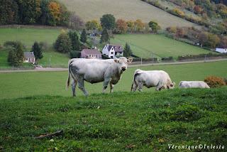 Deux jolies vaches
