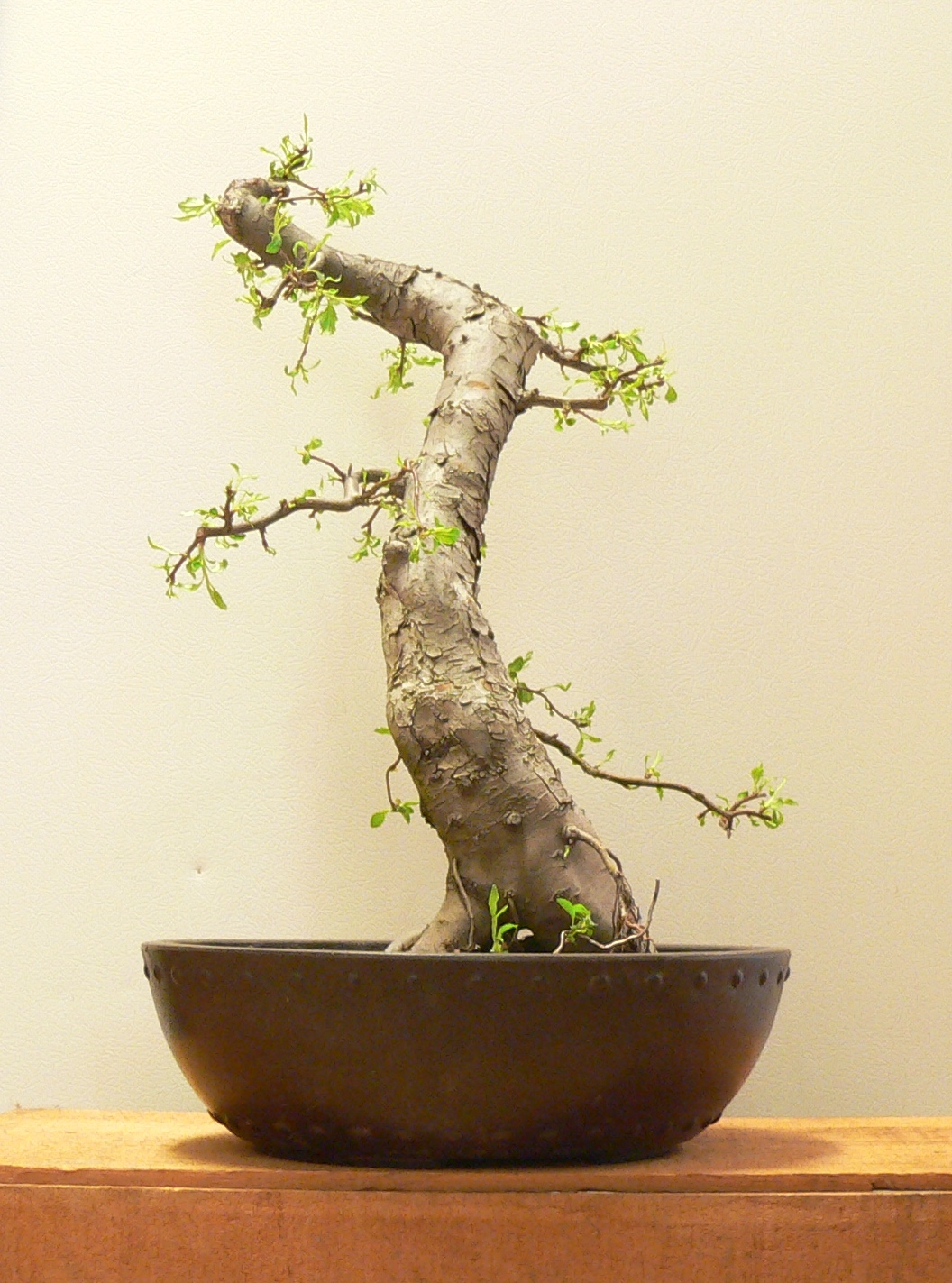 Laser Beam Bonsai Crabapple Bonsai Mica Pot
