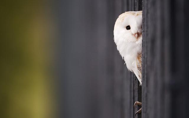 """<img src=""""http://1.bp.blogspot.com/-6HcAgAB7Zw4/Ud2t0-O6wkI/AAAAAAAAAXo/1XdyKxchntU/s1600/white_owl_2-wide.jpg"""" alt=""""Birds wallpapers"""" />"""