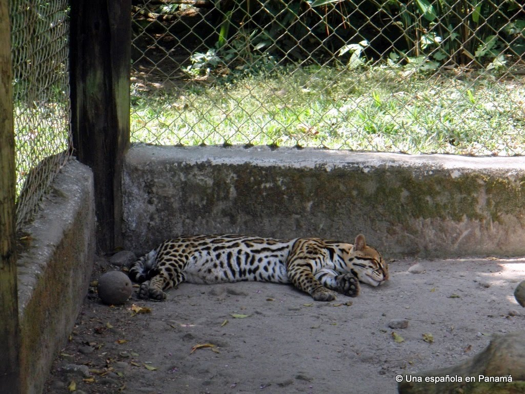 jaguar zoo summit