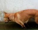 泰國淹水 小狗被迫站著睡覺