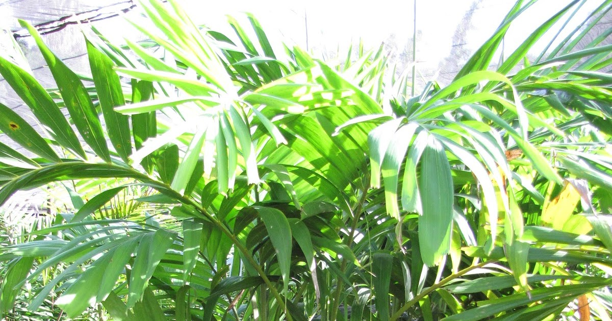 Palmier ptychosperma elegans flore de l le de la r union for Entretien jardin reunion