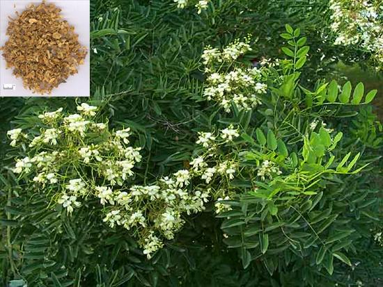 Sophora japonica L. (Fam. Fabaceae)