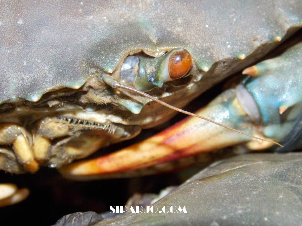 kepiting laut yang masih segar