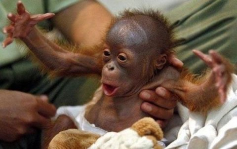 funny orangutan new nice photos 2012 all funny